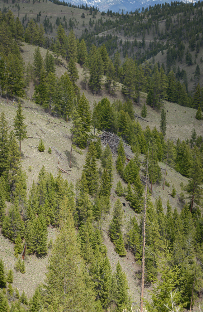 HSM Blog, black bear, spring bear, montana, hsm ammo