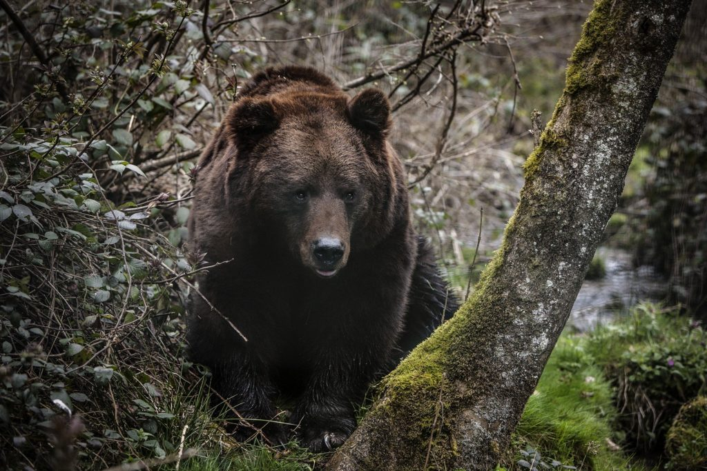 Grizzly Bear looking through trees